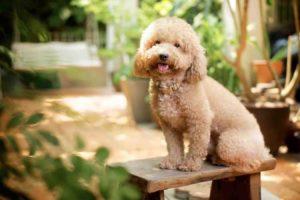 Một số thông tin về tính cách chó Poodle mà bạn cần biết